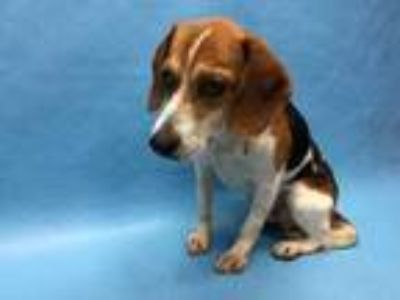 Adopt Rooster a White Beagle / Mixed dog in Golden Valley, MN (25307304)