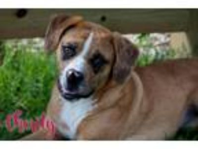 Adopt charity a Brown/Chocolate - with White Catahoula Leopard Dog / Mixed dog