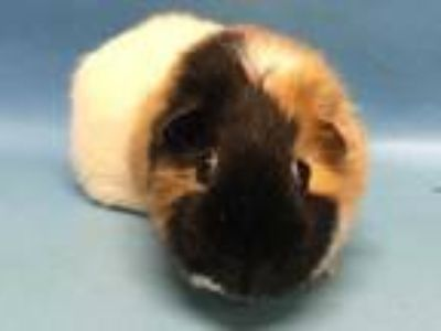 Adopt Gigi a White Guinea Pig / Mixed small animal in Golden Valley