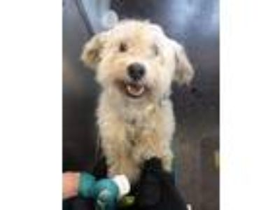 Adopt Dion a White Poodle (Miniature) / Mixed dog in Brooklyn, NY (25313623)
