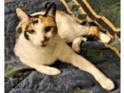 Adopt Lily a Calico or Dilute Calico Calico / Mixed (short coat) cat in
