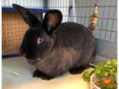 Adopt Asher a Chocolate Other/Unknown / Mixed (short coat) rabbit in Mission