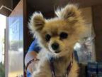 Adopt Sugar a Pomeranian, Mixed Breed