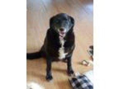 Adopt Sophie a Labrador Retriever, Australian Cattle Dog / Blue Heeler