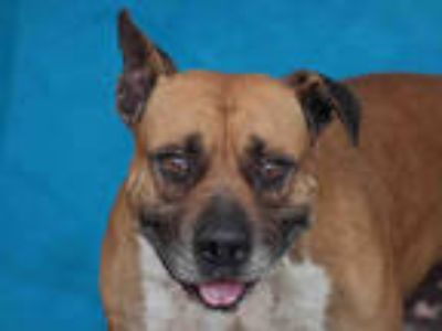 Adopt BRONX a Brown/Chocolate American Pit Bull Terrier / Mixed dog in Downey