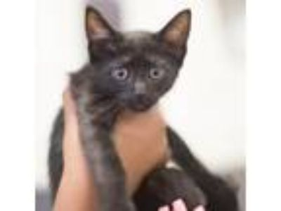 Adopt Matilda a All Black Domestic Shorthair / Domestic Shorthair / Mixed cat in
