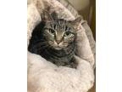 Adopt Nadia a Gray or Blue Domestic Shorthair / Domestic Shorthair / Mixed cat