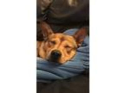 Adopt Sparky a Tan/Yellow/Fawn Shiba Inu / Basenji / Mixed dog in Studio City