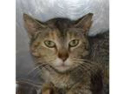 Adopt Savannah a Domestic Short Hair, Tabby
