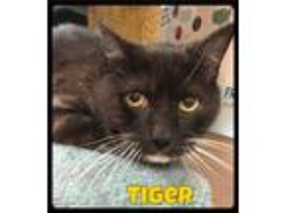Adopt Tiger - Foster (338) / 2018 a Black & White or Tuxedo Domestic Shorthair /