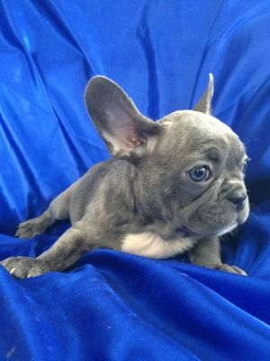 French Bulldog PUPPY FOR SALE ADN-63707 - Amazing beautiful French bulldog puppies