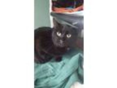 Adopt Colleen a Domestic Short Hair
