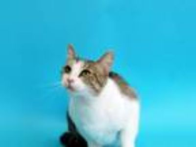 Adopt ANGELA LANSBURY a Domestic Short Hair