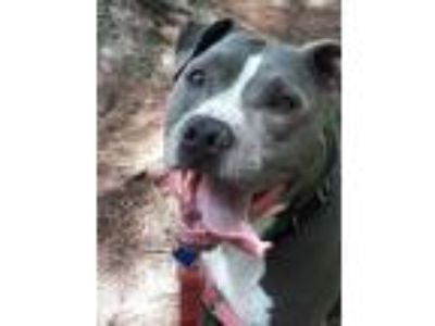 Adopt Andre a Pit Bull Terrier / Mixed dog in Madison, NJ (25275360)