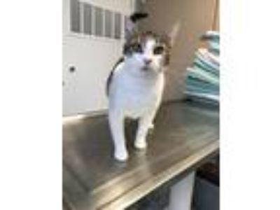 Adopt Magnolia a Domestic Short Hair