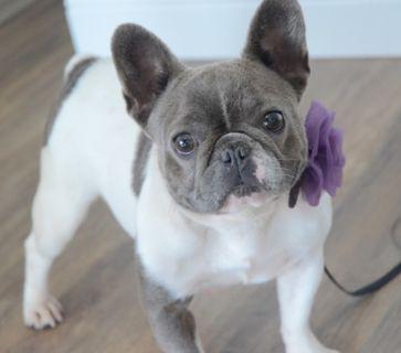 French Bulldog PUPPY FOR SALE ADN-92278 - Blue Pied Female BB