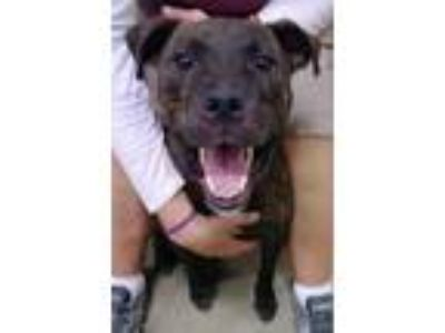 Adopt Petey a Brindle - with White Pit Bull Terrier / Boxer / Mixed dog in