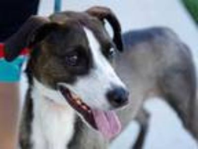 Adopt Asia a Brown/Chocolate Mixed Breed (Medium) / Mixed dog in Georgetown
