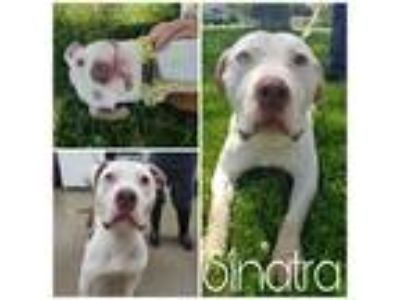 Adopt Sinatra a Brown/Chocolate - with White Pit Bull Terrier / Mixed dog in