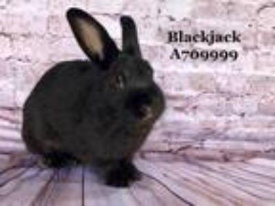 Adopt *BLACKJACK a Black Other/Unknown / Mixed rabbit in Camarillo