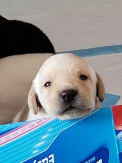 Labrador Retriever PUPPY FOR SALE ADN-92149 - AKC Registered puppies