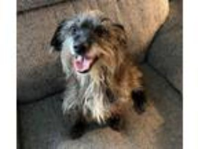 Adopt Ritzy a Wirehaired Dachshund