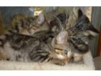 Adopt Fluffy's kittens a Maine Coon, Bengal
