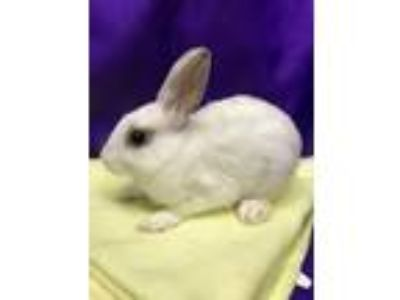 Adopt Paprika a White Blanc de Hotot / Mixed (short coat) rabbit in Paramount