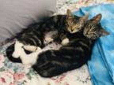 Kittens - For Sale Classifieds in Waterbury, Connecticut - Claz org