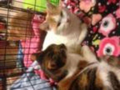 Adopt Betsy and Brittany - Mom/daughter pair a Domestic Short Hair, Calico