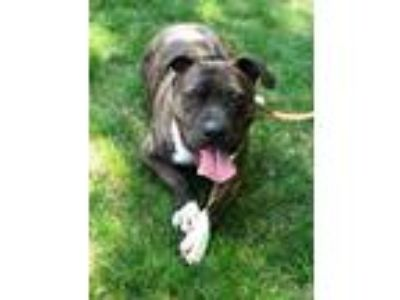 Adopt Romney a Pit Bull Terrier