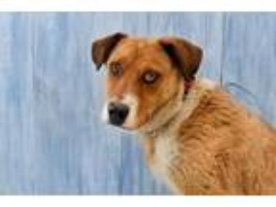 Adopt Champ a Shepherd (Unknown Type) / Mixed dog in Park City, UT (25295109)