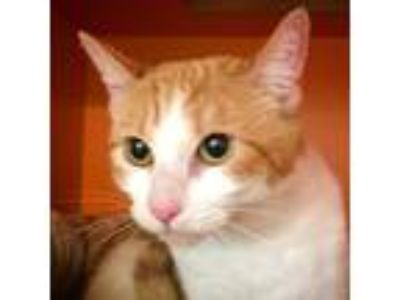 Adopt Dutchess a Orange or Red Tabby Domestic Shorthair (short coat) cat in