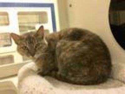 Adopt ESTHER a Brown Tabby Domestic Shorthair / Mixed (short coat) cat in Vero