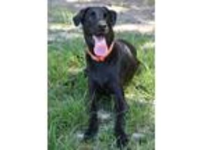 Adopt 10319674 LEROY a Black Labrador Retriever / Mixed dog in Brooksville