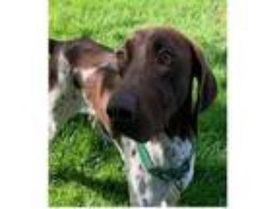 Adopt PORTER a German Shorthaired Pointer