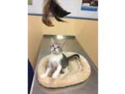 Adopt Carli a Gray or Blue (Mostly) Domestic Shorthair (short coat) cat in