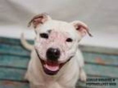 Adopt SASSY a White Pit Bull Terrier / Mixed dog in Nashville, TN (25301959)