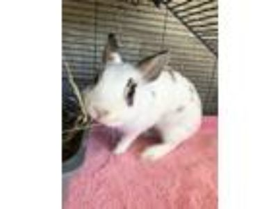 Adopt Avery a Netherland Dwarf / Mixed rabbit in Napa, CA (25628486)