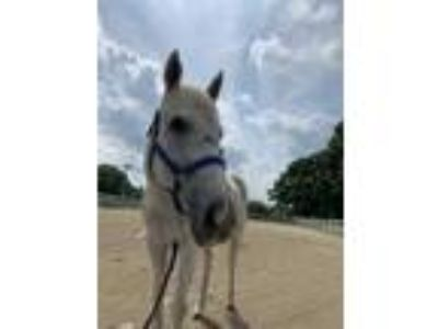 Adopt SABLE GRACE a Gray Thoroughbred / Mixed horse in Methuen, MA (25471334)