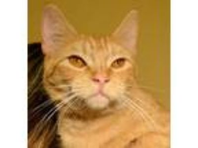Adopt Walley a Domestic Short Hair, Tabby