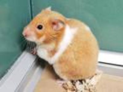 Adopt Mango a Hamster small animal in Portland, OR (25578056)