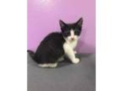 Adopt Solo a All Black Domestic Shorthair / Domestic Shorthair / Mixed cat in