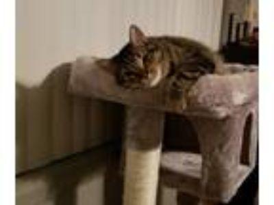 Adopt Dusty a Gray or Blue American Shorthair cat in Boise, ID (25006584)