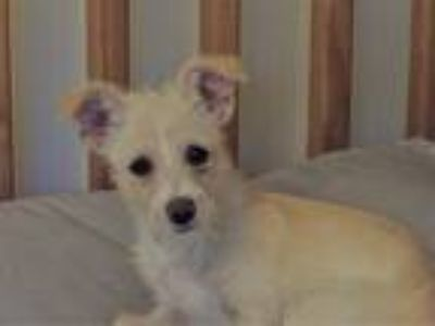 Adopt Baby Hank a Tan/Yellow/Fawn - with White Terrier (Unknown Type