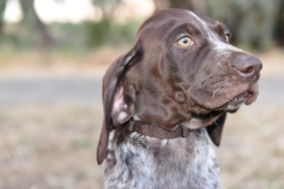 German Shorthaired Pointer PUPPY FOR SALE ADN-77880 - Male  Female pups