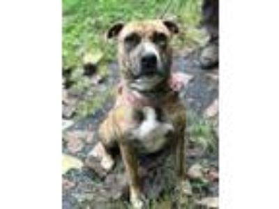 Adopt Sasha a Brindle Pit Bull Terrier / Terrier (Unknown Type