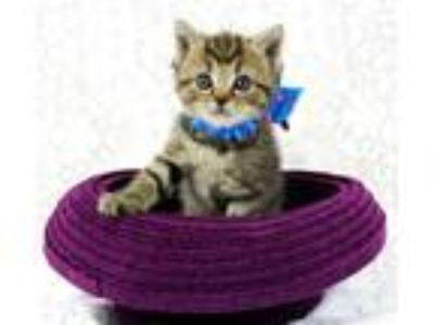 Adopt Hester a American Shorthair