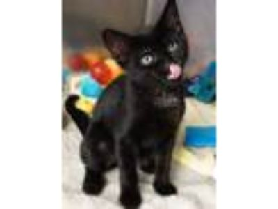 Adopt Noah a All Black Domestic Shorthair / Domestic Shorthair / Mixed cat in