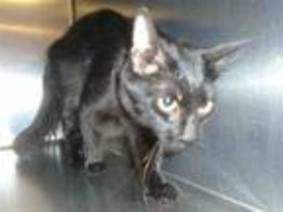 Adopt Cat a All Black Domestic Shorthair / Mixed (short coat) cat in Thousand